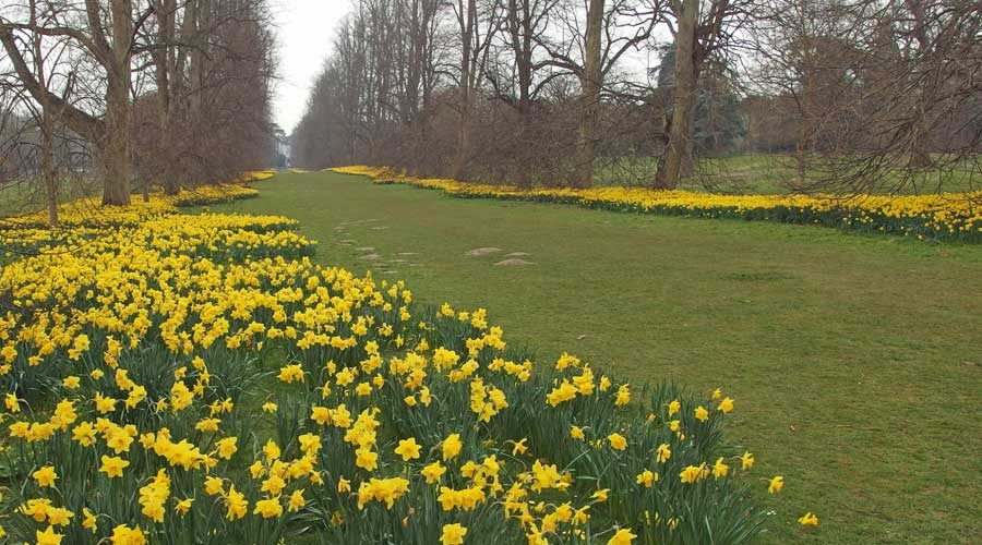Photo of 'Lime Avenue' at Nowton Park, covered in daffodils.